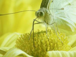 Cabbage White Butterfly, Pieris Brassicae by London Scientific Films