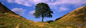 Lone Tree Hadrian's Wall Northumberland England