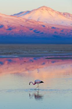 Flamingo, Pink Sunset above Atacama Desert by longtaildog