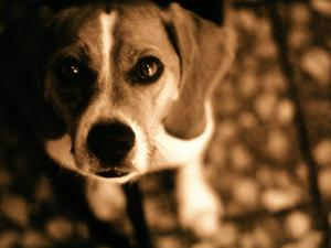 Close-up of Beagle Puppy by Lonnie Duka