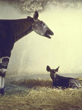 Baby Okapi Sitting on Mat of Straw as Its Mother Looks on at Parc Zooligique of Vincennes by Loomis Dean