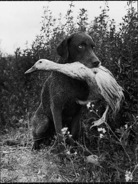 Chesapeake Bay Retriever Trigger Holds Donald the Duck After being thrown Into Water by Owner by Loomis Dean