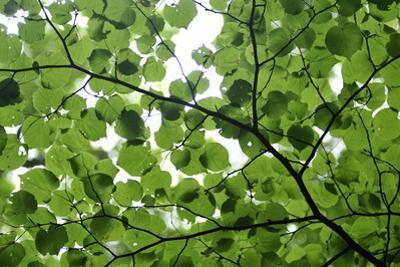 View of Underside of Lime (Tilia Sp) Leaves on a Branch, Moricsala Island, Lake Usma, Latvia