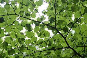 View of Underside of Lime (Tilia Sp) Leaves on a Branch, Moricsala Island, Lake Usma, Latvia by López