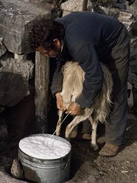 Shepherd Milking Sheep for Cheese, Island of Crete, Greece by Loraine Wilson