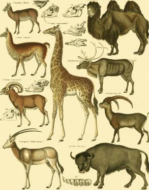 Oken Giraffe and Camel by Lorenz Oken