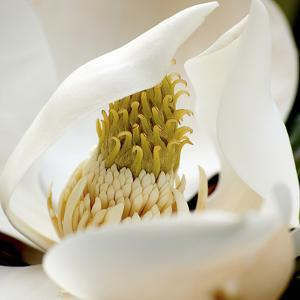 magnolia blossom by Lori Hutchison