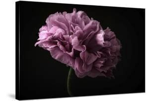 Poppy by Lotte Gronkjaer
