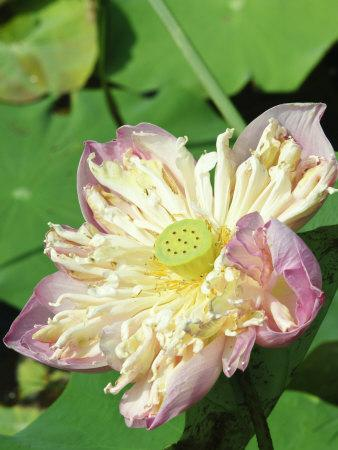https://imgc.allpostersimages.com/img/posters/lotus-flower-bangkok-thailand-southeast-asia-asia_u-L-P91PJ30.jpg?p=0