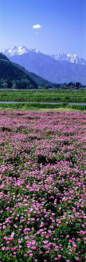Lotus Flowers Nagano Japan