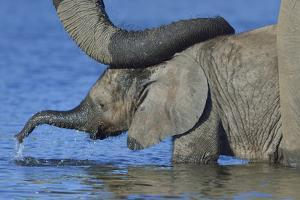 African Elephant (Loxodonta Africana) Calf In Water With Mother'S Reassuring Trunk Resting On Head by Lou Coetzer