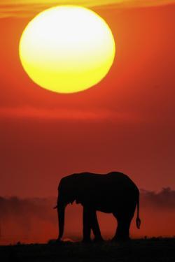 African Elephant (Loxodonta Africana) Silhouetted Against Orange Sky, Chobe River, Botswana by Lou Coetzer