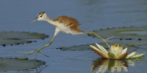 African Jacana (Actophilornis Africana) Chick Running Between Water Lily Pads by Lou Coetzer