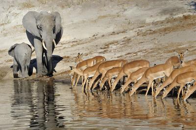 Impala (Aepyceros Melampus) Herd Drinking Near African Elephant (Loxodonta Africana) Cow And Calf