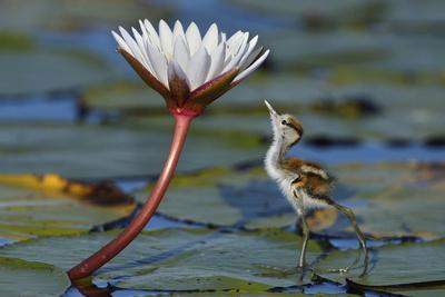 Juvenile African Jacana (Actophilornis Africana) Looking At Insect On Flower, Chobe River, Botswana