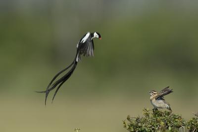 Pintailed Whydah (Vidua Macroura) Male Displaying To Female, Masai Mara, Kenya