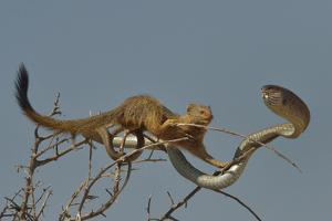 Slender Mongoose (Galerella Sanguinea) Approaching Boomslang Snake (Dispholidus Typus) In Tree by Lou Coetzer