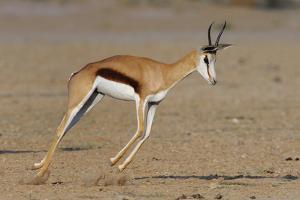 Springbok (Antidorcas Marsupialis) Jumping - Pronking, Kgalagadi Transfrontier Park, South Africa by Lou Coetzer