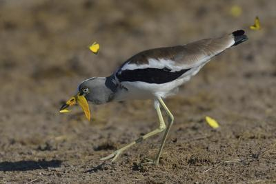 White-Crowned Wattled Lapwing - Plover (Vanellus Albiceps) Catching Butterfly