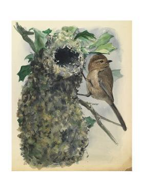 A Bush Tit Bird Is Perched Outside His Nest by Louis Agassi Fuertes