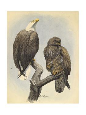 A Male and Younger Bald Eagle Perch on a Tree Branch by Louis Agassi Fuertes