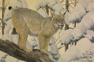 A Painting of a Canada Lynx Standing on Fallen Tree Trunk by Louis Agassi Fuertes