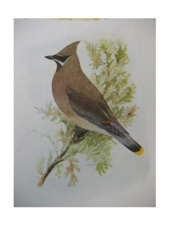 A Painting of a Cedar Waxwing Perched on a Tree Branch by Louis Agassi Fuertes
