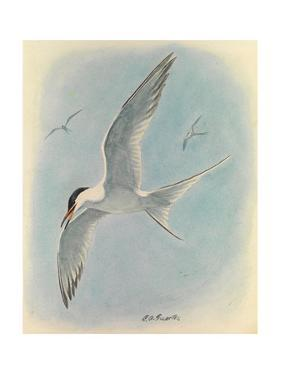 A Painting of a Common Tern Flying with Two, Distant, Companions by Louis Agassi Fuertes