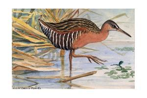 A Painting of a King Rail Bird in the Marsh by Louis Agassi Fuertes
