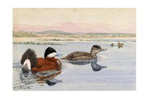 A Painting of a Male and a Female Ruddy Duck by Louis Agassi Fuertes