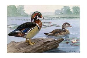 A Painting of a Male and Female Wood Duck by Louis Agassi Fuertes