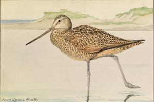 A Painting of a Marbled Godwit, Limosa Fedoa by Louis Agassi Fuertes