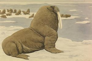 A Painting of a Pacific Walrus Sitting on Ice in Front of the Herd by Louis Agassi Fuertes