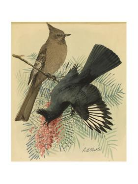 A Painting of a Pair of Black Flycatchers, also known as Phainopepla by Louis Agassi Fuertes