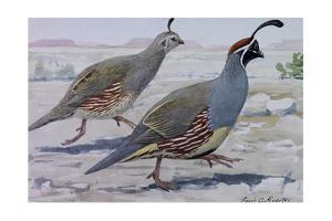 A Painting of a Pair of Gambel's Quail by Louis Agassi Fuertes