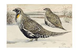 A Painting of a Pair of Greater Sage-Grouse by Louis Agassi Fuertes