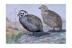 A Painting of a Pair of Mearn's Quail by Louis Agassi Fuertes