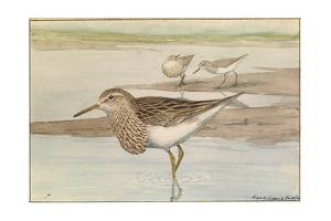 A Painting of a Pectoral Sandpiper by Louis Agassi Fuertes