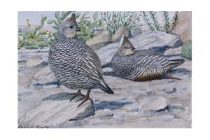 A Painting of a Scaled Quail and a Chestnut-Bellied Scaled Quail by Louis Agassi Fuertes