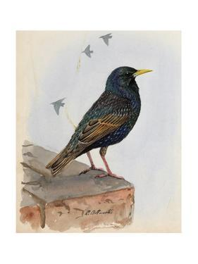 A Painting of a Starling Perched on a Building Ledge by Louis Agassi Fuertes