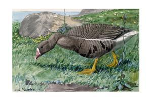 A Painting of a White-Fronted Goose by Louis Agassi Fuertes