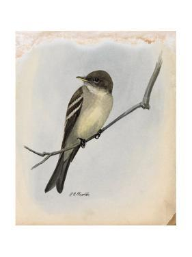A Painting of a Wood Pewee Perched on a Branch by Louis Agassi Fuertes