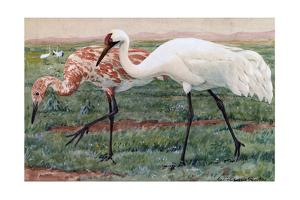 A Painting of an Adult and Juvenile Whooping Cranes by Louis Agassi Fuertes