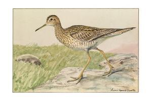 A Painting of an Upland Sandpiper by Louis Agassi Fuertes