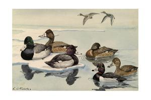 A Painting of Greater Scaup, Lesser Scaup, and Ring-Necked Ducks by Louis Agassi Fuertes