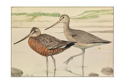 A Painting of Hudsonian Godwits in Summer and Winter Plumage by Louis Agassi Fuertes