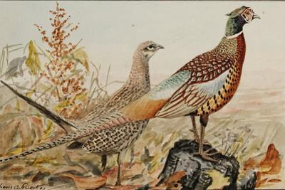 A Painting of Male and Female Ring-Necked Pheasants