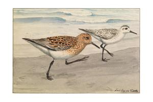A Painting of Sanderlings in Summer and Winter Plumage by Louis Agassi Fuertes