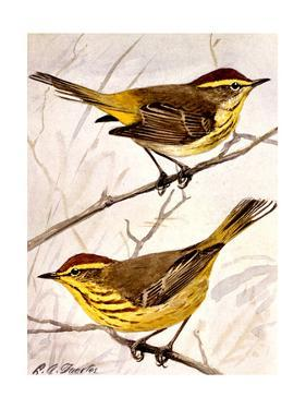 A Painting of the Palm Warbler and the Yellow Palm Warbler by Louis Agassi Fuertes