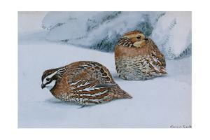 A Painting of Two Bobwhites, Colinus Virginianus Virginianus, in Snow by Louis Agassi Fuertes